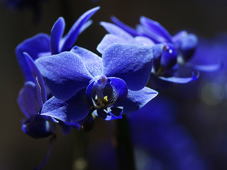 青いコチョウラン-1401-770.jpg