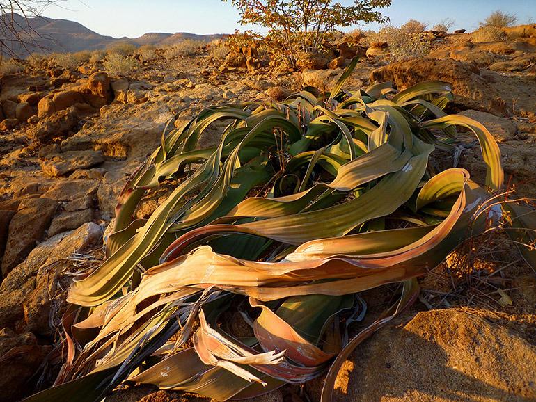 Welwitschia_mirabilis0425-770.jpg